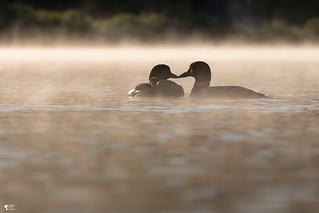 ''L'amour!'' Plongeon huard-Common loon