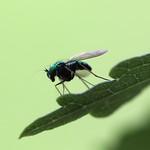 Long-legged Fly thumbnail