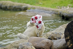 Nanook (Michael Döring) Tags: gelsenkirchen bismarck zoomerlebniswelt zoo eisbär polarbear nanook afs70200 d800 michaeldöring inexplore