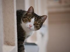 Cat in the window (FotoVideo magazin, Hungary) Tags: macska cat 45200mm
