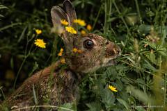 Rabbitt Enjoying a Dandelion (siramman64) Tags: wildlife wildlifeuk sirammanpictures siramman forestfarm nature southwales
