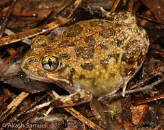 Humming Frog (Neobatrachus pelobatoides) (Akash Samuel Melbourne) Tags: humming frog neobatrachus pelobatoides akash samuel australia australian western wa colour macro herpetology beautiful