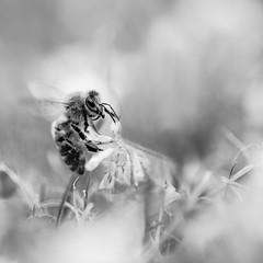Abeille. (steph20_2) Tags: panasonic gh4 sp90 tamron m43 lumix macro closeup monochrome monochrom insecte abeille bee noir noiretblanc ngc blanc black bw white skanchelli