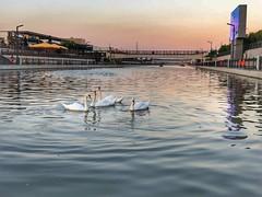 #balıkesir #avlu #swan (ugurengin1516) Tags: balıkesir avlu swan