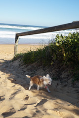 20180714-DSC05344 (PM Clark) Tags: copacabana centralcoastnsw central coast nsw australia sony e chihuahua pure bred