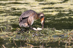 Great Crested Grebe - still on eggs 13/7/2018 (Brian Dunning) Tags: greatcrestedgrebe nest eggs podicepscristatus canon eos7dmarkii ef100400mmf4556lisiiusm