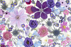 Summer Purples and Pinks on white (photoart33) Tags: flowers pinks purples summer cosmos clematis delphinium larkspur seaholly scabious sweetpea