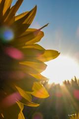 Sonnenblume (wb.fotografie) Tags: feld sonnenblume himmel blume flora
