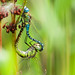 Southern Migrant Hawkers in tandem (sparrowhawk143) Tags: