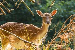Hello again (Leo Kramp) Tags: loweproflipside300awii amsterdamsewaterleidingduinen 2018 deer damhert wwwleokrampfotografienl leokrampfotografie zoogdieren natuurfotografie explore