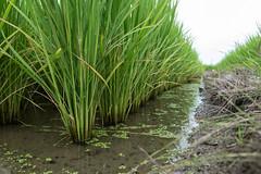 Rice paddy (odeleapple) Tags: olympus e5 zuiko digital 1122mm zd rice paddy water