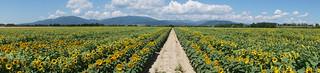 Champ de tournesols  -  Field of sunflowers