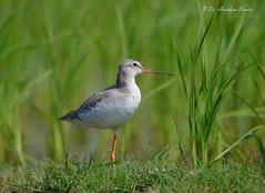 Resting one... (Anirban Sinha 80) Tags: nikon d610 fx 500mm f4 ed vrii g n bokeh bird green field natural beak resting red dof