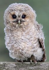 Baby Tawny owl's portrait (bilska.anna) Tags: