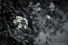2017 09 24 - 154714 0 Canon EOS 5D Mark III (ONLINED1782A) Tags: canoneos5dmarkiii ef70200mmf28lisiiusm monochrome photography photo blackandwhite bw depthoffield vsco vscofilm nature outdoor serene silence plant plants flower flowers