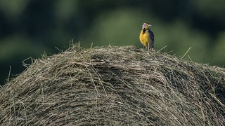 What the what… An Eastern Meadowlark surveys what was once his meadow from atop a round bale of hay, with confusion.