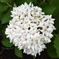 Wheaton, IL, White Hydrangea Flowers (?) (Mary Warren 11.0+ Million Views) Tags: wheatonil spring nature flora plant white blooms blossoms flowers hydrangea