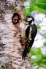 Pico picapinos (Dendrocopos major) Peto real (Felipe Ogando) Tags: petoreal dendrocoposmajor picopicapinos aves avesdegalicia felipeogando morfeofilms naturaleza naturalezadegalicia
