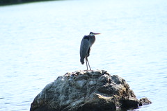IMG_0256 (evona12) Tags: water animal birds rock lake nature