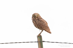 June 24, 2018 - A wide-eyed Burrowing Owl in Morgan County. (Tony's Takes)