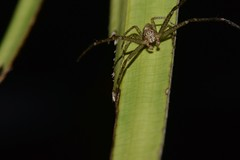 Long Legged Spider (Craig Tuggy) Tags: thailand macro spider reverse lens nature
