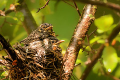 After the Storm (Goromo) Tags: americanrobin robin bird nest nestlings rain downpour storm newfeathers feathers spring