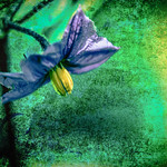 Eggplant Flower thumbnail
