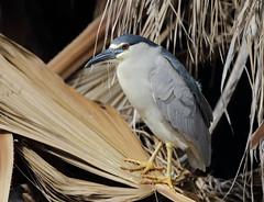 1DX10471 View Large. Black-crowned Night-Heron. Kaanapali Maui, Hawaii (E.W. Smit Wildlife.) Tags: gitzo gitzotripod g1325mk2 gitzog1325mk2 gitzog1325mk2tripod wimberley wimberleygimbalheadwh200 wimberleygimbalhead wimberleywh200 gimbalhead ef500mmf4lis ef500mmf4lisusm canonef500mmf4lisusm wildanimals tourist tourists telephotolens tripod unitedstatesofamerica usa outdoors outdoor supertelephotolens island bird birds ocean pacificocean animal avian animals wildanimal hawaii mauihawaii maui mauimarriottsoceanclub canon nature wildlife blackcrownednightheron nightheron heron canoneos1dx 1dx canon1dx canonef500mmf4lis canonef14xextenderii 14x eos1dx kaanapali kaanapalimaui park parks lake rookery