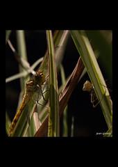 07-07-2018_4644-i (Jean Ginieis) Tags: odonate libellule anyzoptère cenevières cornus lot 46330 insectes demoiselle dragonflies sympetrumflaveolum sympetrum flaveolum