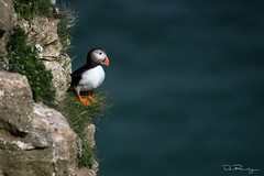 Vantage Point (DanRansley) Tags: atlanticpuffin bemptoncliffs britain danransleyphotography danransleynet eastridingofyorkshire eastyorkshire england fraterculaarctica gb greatbritain rspb uk unitedkingdom yorkshire animal bird birding cliff coast colour conservation feathers nature ornithology puffin sea seabird wildlife