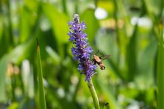 hummingbird moth. lake katherine 2018 (timp37) Tags: hummingbird moth lake katherine illinois palos 2018 july insect summer