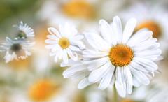 Margaretki (augustynbatko) Tags: margaretki flowers macro nature garden white blur bokeh flower blossom plant