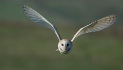 Barn Owl (kerkuil) (moniquedoon) Tags: owl barnowl kerkuil raptors birdsofprey wildlife nature