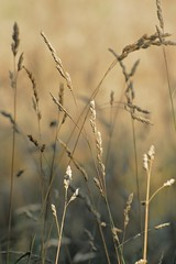 field of gold (courtney065) Tags: nikond200 nature landscapes field meadow grassland grasses gold golden flora foliage fieldofgold textures depthoffield painterly amber amberwaves honey
