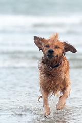 Bailey (markconnell) Tags: goldenretriever golden goldie dog pet retriever