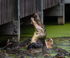 DSC_2235 (capt_tain Tom) Tags: gator alligator alligatorinswamp feeding alligators