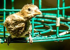 Independence Day backyard birds (3) (tommaync) Tags: july 2018 chathamcounty nc northcarolina nikon d7500 nature birds finch beak wings feet eyes feeder cage green brown