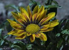 Un Sol en la Tierra (pedroramfra91) Tags: sol sun verano summer naturaleza nature flor flower amarillo yellow verde green jardín garden exteriores outdoors macro
