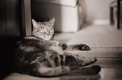 西日のうず (t_mimizuk) Tags: film bw blackandwhite monochrome leica ilford zeiss cat mycat tokyo japan