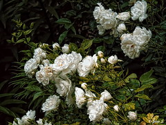 ... (Jean S..) Tags: flowers roses white green park garden bagatelle bloom outdoors