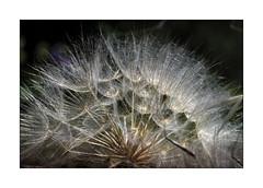 Dandelion Ready to Blow Apart (Olivier Faugeras) Tags: catalunya santsalvi catalogne macro dandelion fleur