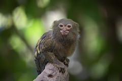 Äffchen (DeanB Photography) Tags: tiere tier tierpark tierwelt animal animals affen canon sigma zoo zootiere