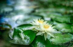 water lilies (kderricotte) Tags: sony bokeh depthoffield ilce7m2 sel85f18 sonya7ii sonyfe85mm18 water waterlily flower plant marsh kenilworthparkandaquaticgardens washingtondc