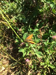 Small Skipper (Glass Horse 2017) Tags: cleveland redcar coatham sanddunes links wasteland insect butterfly smallskipper thymelicussylvestris redclover deltashape