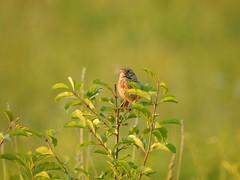 Lifer Henslow's Sparrow (Explored #419) (FluvannaCountyBirder754) Tags: henslowssparrow sparow jeffersoncounty alvar grassland prairie newyorkstate birdwatching bird birding birder birds lifer nature outdoor outdoors outside animal creature