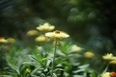DSC04408- Light Sparkles (oliveplum) Tags: gardensbythebay flowerdome minoltarokkorf1450mm sony singapore marinabay daisy light