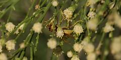 Climbing Frame (harefoot1066) Tags: hymenoptera aculeata vespoidea vespidae polistinae polistesaurifer paperwasp polistes asteraceae baccharis baccharissarathroides broombaccharis greasewood desertbroom