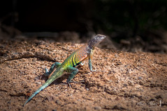 Greater earless lizard (Cophosaurus texanus) (Alan Abair) Tags: greaterearlesslizard cophosaurustexanus