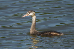 GREAT CRESTED GREBE (JUVENILE) (_jypictures) Tags: animalphotography animals animal animalplanet canon canon7d canonphotography wildlife wildlifephotography wiltshire naturephotography nature photography pictures birdwatching birdingphotography birding birds bird birdphotography birders grebe greatcrestedgrebe ukwildlife ukbirds ukbirding