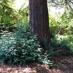 Redwood (Melinda Stuart) Tags: tree redwood uc campus spring growth shoots greenery trunk path shade landscape grove mulch